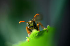 在叶子的黄蜂 免版税库存照片