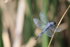 在叶子的蜻蜓 免版税图库摄影