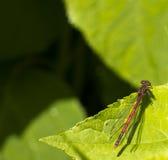 在叶子的蜻蜓 库存照片