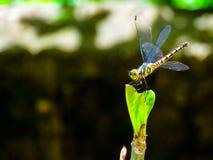 在叶子的蜻蜓 免版税库存图片