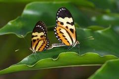 在叶子的蝴蝶夫妇 免版税库存照片