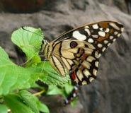 在叶子的蝴蝶 免版税库存照片