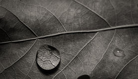 在叶子的水滴 库存图片