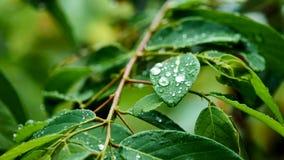 水滴在叶子的 图库摄影