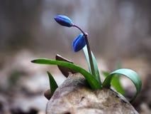 在叶子的Snowdrop第一春天蓝色明亮的花 库存图片