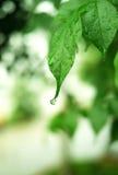 在叶子的Waterdrop 库存图片