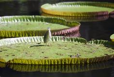 在叶子维多利亚amazonica维多利亚regia的小的苦汁Ixobrychus minutus 图库摄影