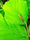 在叶子绿色上的一只蚂蚱 免版税库存照片