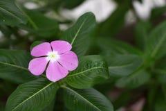 在叶子绿色中的桃红色花在庭院里 库存图片