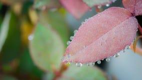 在叶子罗斯附近盘旋雨水下落 免版税库存照片