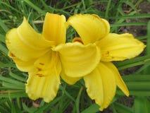 在叶子背景的两个黄色百合在花圃里 图库摄影