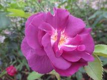 在叶子背景的两朵紫色玫瑰在花圃里在一个晴天 库存照片