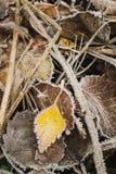 在叶子背景的冻黄色叶子 免版税库存照片