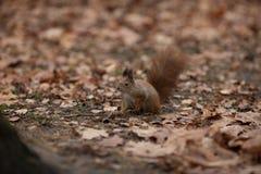 在叶子背景的小的逗人喜爱的棕色灰鼠在秋天 免版税库存图片