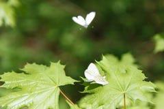 在叶子背景的蝴蝶 免版税库存照片