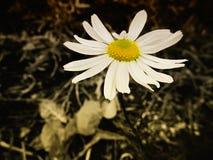 在叶子背景的雏菊  免版税库存照片