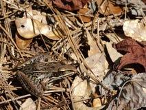 在叶子腐土伪装的牛蛙 免版税库存照片