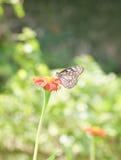 在叶子花的蝴蝶栖息处 图库摄影