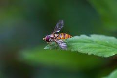 在叶子草的昆虫 库存照片