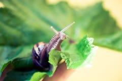 在叶子身分的蜗牛 库存图片