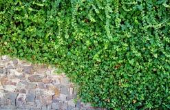 在叶子部分地盖的墙壁 免版税库存照片