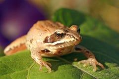 在叶子,在眼睛的焦点的青蛙 免版税库存照片
