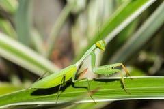 在叶子,苏拉威西岛,印度尼西亚的螳螂 免版税库存图片