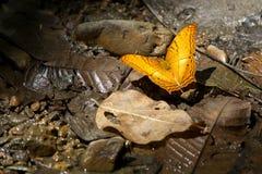 在叶子(共同的巡洋舰)的橙色蝴蝶 免版税图库摄影