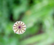 在叶子绿色模糊的背景的开花干燥鸦片  免版税库存图片