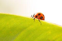 在叶子绿色背景的瓢虫 库存图片