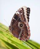 在叶子- Morpho peleides的皇帝蝴蝶选址 库存照片