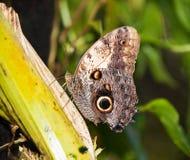 在叶子- Morpho peleides的皇帝蝴蝶选址 免版税库存照片
