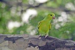 在叶茂盛树的树荫的下简单的长尾小鹦鹉 库存照片