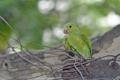 在叶茂盛树的树荫的下简单的长尾小鹦鹉 免版税库存图片