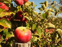 在树的成熟红色苹果 免版税库存照片