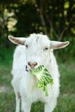 在吃圆白菜叶子的草的白色山羊 图库摄影