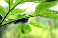 在吃植物的叶子的毛虫 免版税库存图片