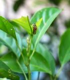 在吃植物的毛虫 库存图片