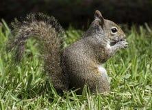 在吃花生的草的灰鼠 库存照片