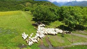 在吃草在绿色草坪,成群和种田的母牛和绵羊的寄生虫飞行 影视素材