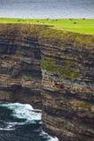 在吃草海洋牧场地的峭壁母牛之上 免版税库存照片