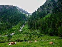 在吃草的母牛的奥地利阿尔卑斯外型。 库存照片