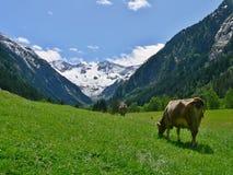 在吃草的母牛的奥地利阿尔卑斯外型 免版税库存照片