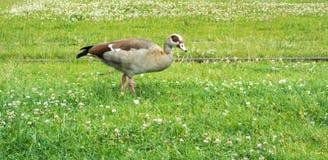 在吃草的法兰克福街道的一只野鸭 免版税库存照片