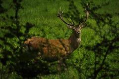 在吃草的鹿 免版税库存照片