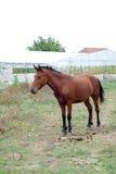 在吃草领域的马在村庄 免版税库存图片