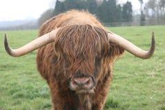 在吃草领域的高地母牛 免版税库存图片