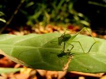 在吃食物特写镜头的叶子的有污点的布什蟋蟀Leptophyes 免版税库存照片