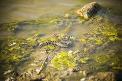 在吃鱼过程中的一条水蛇 库存照片