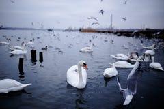 在各种各样的鸟种类中的白色天鹅,漂浮在冷的黑海,在冬天期间 免版税库存图片